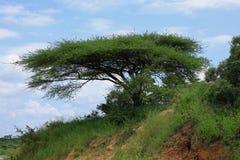 Arbres d'acacia de surface plane Images libres de droits