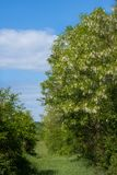 Arbres d'acacias sur le pré au printemps Images stock