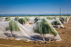 Arbres d'agrume couverts de fabrication Image libre de droits