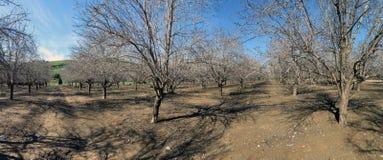 Arbres d'amande dans Lachish, Israël Photographie stock