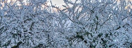 Arbres d'amande de floraison de blanc dans la lumière d'aube photographie stock