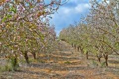 Arbres d'amande de floraison dans la campagne image stock