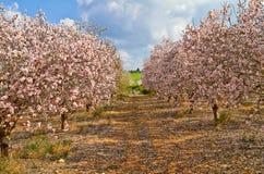 Arbres d'amande de floraison dans la campagne photo libre de droits
