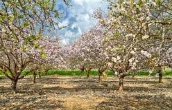 Arbres d'amande de floraison dans la campagne photo stock