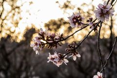 Arbres d'amande de floraison en parc photos libres de droits
