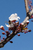 Arbres d'amande en fleur photos libres de droits