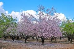 Arbres d'amande fleurissant au printemps dans les collines de Latrun dans la région de Jérusalem en Israël photo libre de droits
