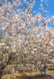 Arbres d'amande fleurissant au printemps dans les collines de Latrun dans la région de Jérusalem en Israël photos libres de droits