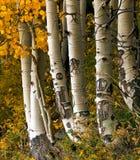 Arbres d'Aspen Photo libre de droits