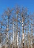 Arbres d'Aspen Photos libres de droits