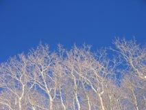 Arbres d'Aspen photographie stock libre de droits