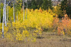 Arbres d'Aspen Photos stock