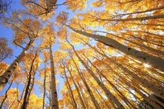 Arbres d'Aspen avec la couleur de chute, San Juan National Forest, le Colorado Photo libre de droits