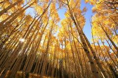 Arbres d'Aspen avec la couleur de chute, San Juan National Forest, le Colorado Photographie stock libre de droits