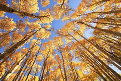 Arbres d'Aspen avec la couleur de chute, San Juan National Forest, le Colorado Images libres de droits