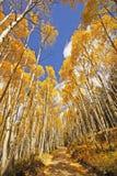 Arbres d'Aspen avec la couleur de chute, San Juan National Forest, le Colorado Photos libres de droits