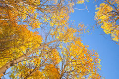 Arbres d'Aspen avec les feuilles jaunes Photo stock