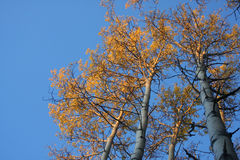 Arbres d'Aspen d'automne en lumière de début de la matinée Images stock