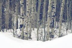Arbres d'Aspen dans des crêtes de montagne de Wasatch en Utah du nord pendant l'hiver Image stock