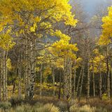 Arbres d'Aspen dans la couleur d'automne images stock