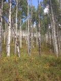 Arbres d'Aspen dans le Colorado Images stock