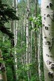 Arbres d'Aspen dans les montagnes de Wasatch Images stock