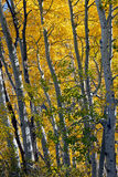 Arbres d'Aspen en automne Photo stock
