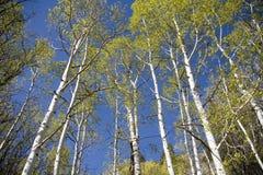 Arbres d'Aspen et ciel bleu Photo stock