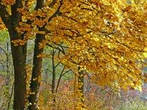 Arbres d'automne avec les lames d'or image libre de droits