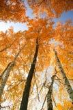 Arbres d'automne avec les lames de jaunissement Image stock