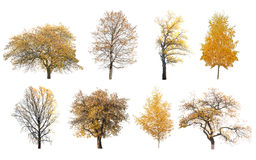 Arbres d'automne d'isolement Photographie stock