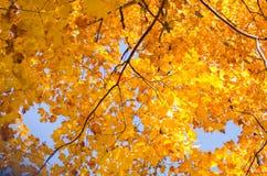 Arbres d'Autumn Fall sur le ciel bleu images libres de droits