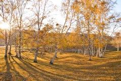 Arbres d'or dans le coucher du soleil Photographie stock libre de droits