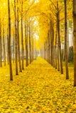 Arbres d'or de ginkgo d'automne Image stock