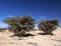 Arbres d'encens, Wadi Dawkah, Oman Image stock
