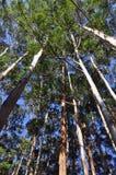 Arbres d'eucalyptus photographie stock