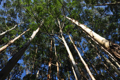 Arbres d'eucalyptus Photo stock