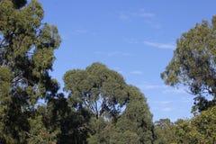 Arbres d'eucalyptus Image stock