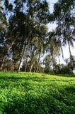 Arbres d'eucalyptus Photos libres de droits