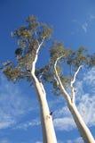 Arbres d'eucalyptus, Australie Photographie stock libre de droits