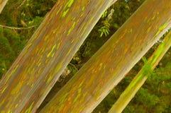 Arbres d'eucalyptus d'arc-en-ciel Image libre de droits