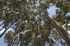 Arbres d'eucalyptus dans l'Australie Images libres de droits
