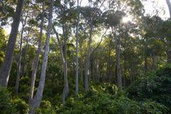 Arbres d'eucalyptus dans l'Australie Photos stock