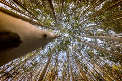 Arbres d'eucalyptus grands-angulaires avec la perspective images stock