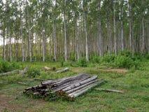 Arbres d'eucalyptus Thaïlande Image libre de droits