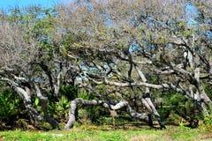 Arbres d'hamac de la Floride Image libre de droits