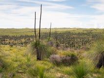 Arbres d'herbe, réserve naturelle de Wanagarren, Australie occidentale Photo libre de droits