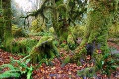 Arbres d'hickory moussus dans la forêt humide de Hoh Image stock