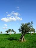 Arbres d'olive dans la ligne Image stock