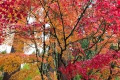 Arbres d'érable japonais en automne Images libres de droits